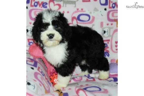 doodle name lance lance sheepadoodle puppy for sale near abilene