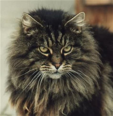 Types Of Haired Cats by 25 Best Ideas About Cat On Simple Animal