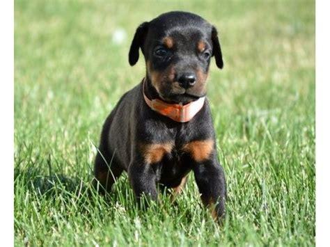 doberman puppies for sale mn doberman puppies for adoption to new homes animals minneapolis minnesota