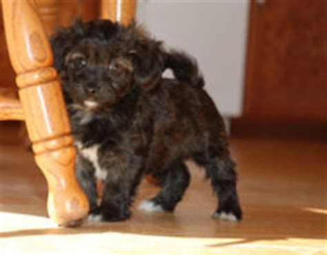 black havanese poodle havapoo havanese x poodle mix info temperament puppies pictures