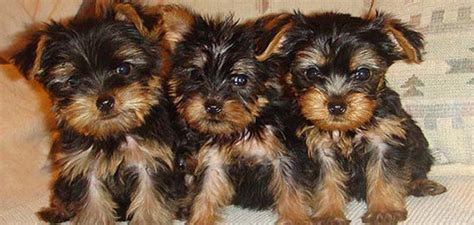 yorkie breeders los angeles yokie happiness yorkie puppies teacup puppies for sale teacup los