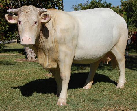 imagenes de vacas blancas vacas y toros