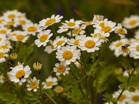 rimedi naturali per mal di testa le sette erbe naturali per trattare il mal di testa