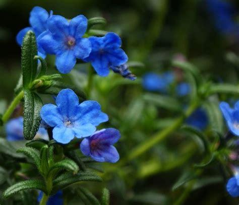 piante autunnali fiorite litodora lithodora lithodora perenni litodora