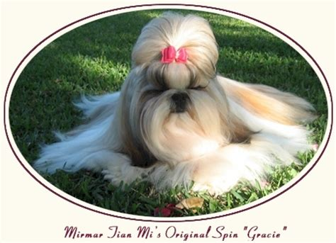 how much is a shih tzu shih tzu puppies shih tzu grooming