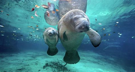 Manatee Records Manatee Population At All Time High For Now