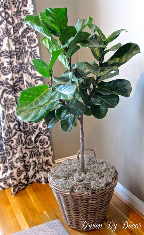 succulents  fiddle leaf fig tree   master