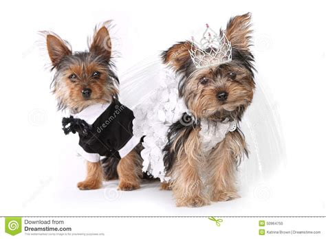 yorkie wedding and groom terrier puppies on white stock photo image 50964750