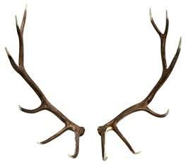elk shed antler pair