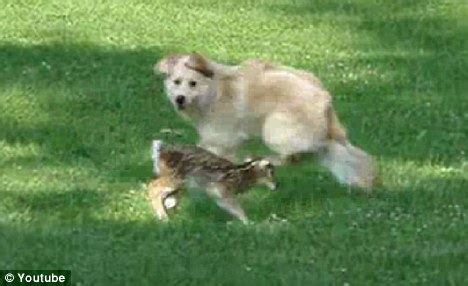 golden retriever stop growing fawn s best friend golden retriever and baby deer frolic together in backyard daily