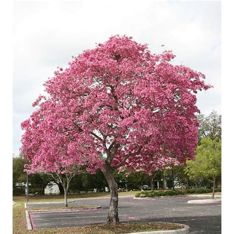 200mm tabebuia palmeri pink trumpet tree bunnings 22 98