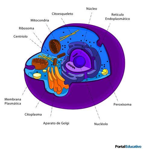 estructura de la clula eucariota estructura de las c 233 lulas eucariontes