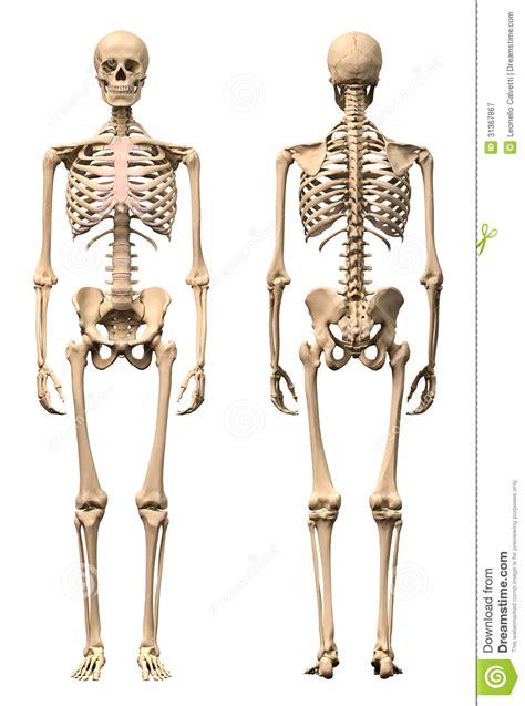 pelvis esqueleto humano frente cibertareas esqueleto humano masculino dos opini 243 nes frente y parte