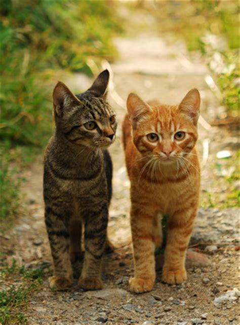 Tabby Cat   Facts and Legends about the Tabby Cat
