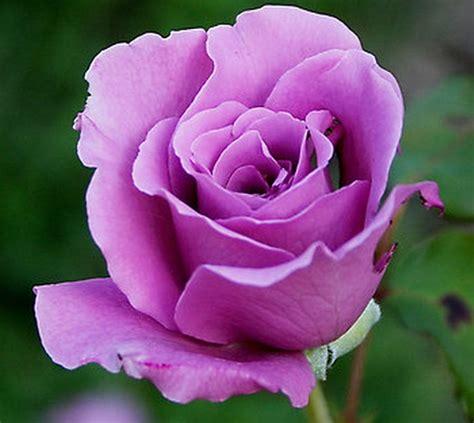 Daun Ungu Variegata 20 40cm tanaman mawar ungu jual tanaman hias