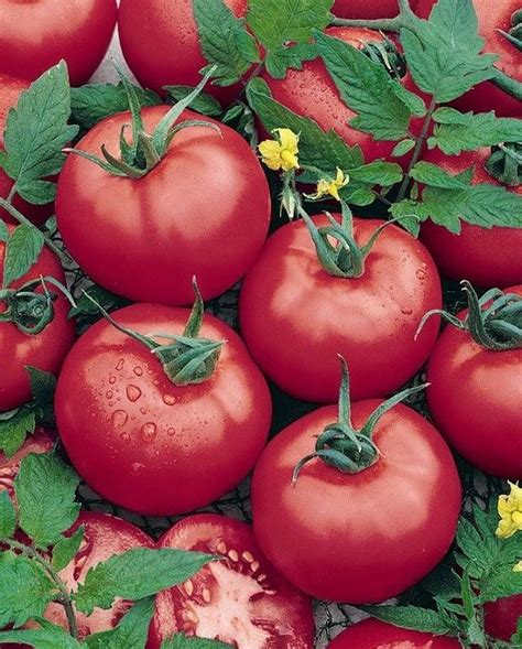 Big Hybrid Tomato 10 Benih tomato brandymaster pink f1 hybrid of the standard in heirloom tomatoes prized for its