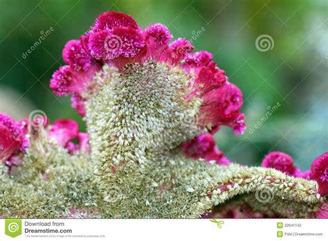 amaranto fiore fiore dell amaranto particolare fotografia stock