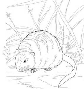 river bank coloring page muskrat on a river bank coloring page free printable