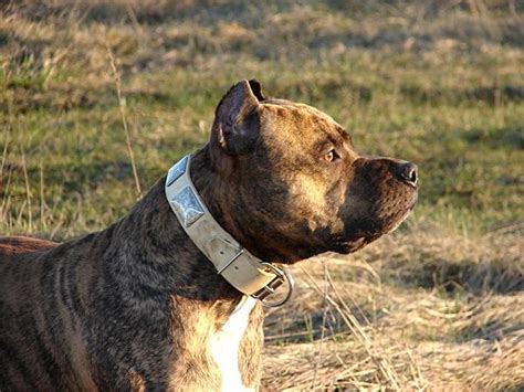 like war dogs new gorgeous war leather collar like in the c89 1 c89n 1073