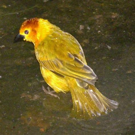 golden bird by dieffi on deviantart
