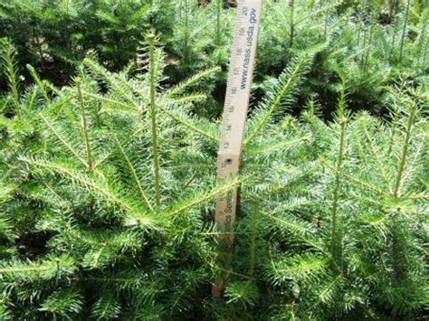 balsam fir bare root transplants
