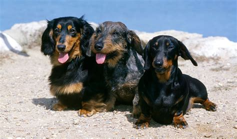 Datsun Puppies by Dachshund Breed Information