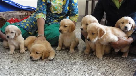 golden retriever puppies cost in india labrador golden retriever puppies price dogs in our photo