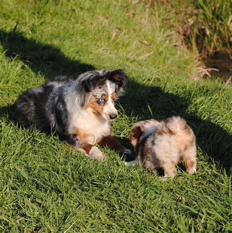 puppies salem oregon mini australian shepherd puppies in salem oregon breeds picture
