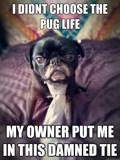 Pug Birthday Meme - birthday pug meme memes