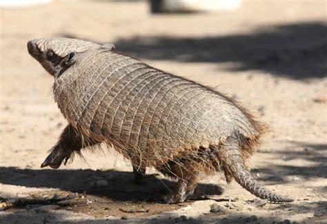 imagenes de animales del desierto animales del desierto con nombres imagui