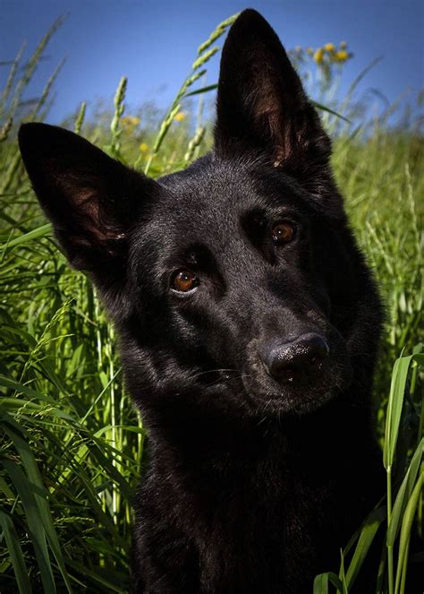 black german shepherd the german shepherd dog the happy puppy site