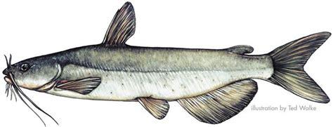 catfish drawing google search mixed media catfish