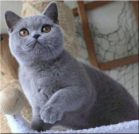 Blee Cat 2 die besten 25 kurzhaarkatzen ideen auf katze