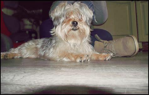 yorkie shih tzu cross yorkie shih tzu cross shorkiedog terrier yorkie puppy m5x breeds picture