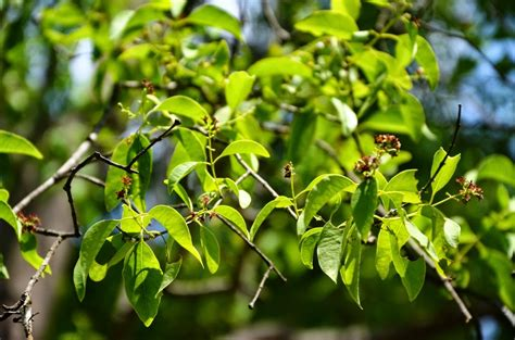 Jual Bibit Cendana India Murah jual bibit pohon cendana di bau bau www stewartflowers net