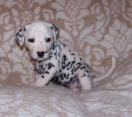 baby dalmatian puppies related keywords amp suggestions baby dalmatian puppies long tail keywords