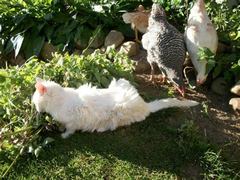 Backyard Chickens Cats Cats And Chickens Backyard Chickens