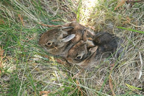 what to do with baby bunnies in backyard spring is here what to do if you find a baby bird or other animal
