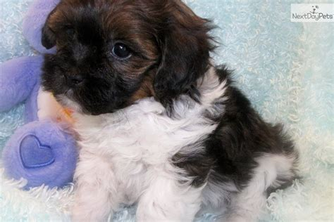 shih poo puppies breeders shih poo shihpoo puppy for sale near fort dodge iowa a4bff504 0f41
