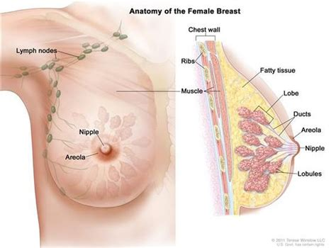 self breast diagram drawing of breast anatomy showing the lymph nodes