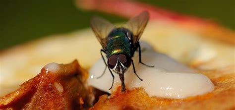 Kitchen Flies How To Rid Your Kitchen Of Fruit Flies Once And For All