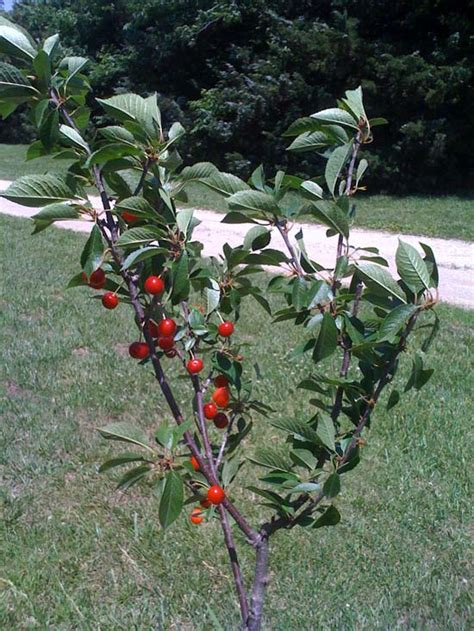 cherry tree kansas kansas sweet cherry harvest