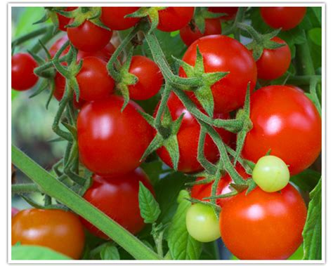 backyard tomatoes for your tomato garden 187 abby s parkside nursery florist