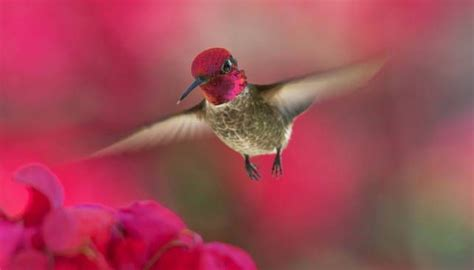 how are hummingbirds so good at flying mnn mother