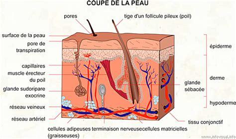 couche definition d 233 finition et fonctionnement des cellules de la peau et du