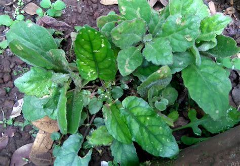 manfaat  khasiat tanaman daun dewa gynura divaricata