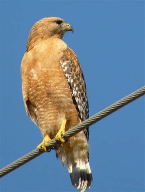 birds of prey wildlife in pa