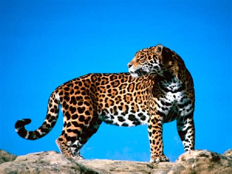 imagenes de jaguares kawaii 10 especies de animales que se drogan naturalmente