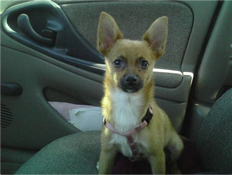 chihuahua pomeranian mix temperament pomeranian chihuahua mix temperament breeds picture