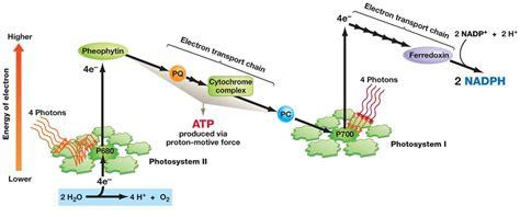 light reaction diagram 102 the light dependent reactions photophosphorilation